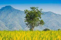Feld von gelben Crotalariablumen und von großem Baum Stockfoto