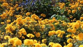 Feld von gelben Gartennelken Stockbilder