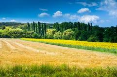 Feld von gelben Sonnenblumen Stockfotografie