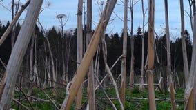 Feld von getrocknet hogweed stock footage