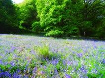 Feld von Glockenblumen stockbilder