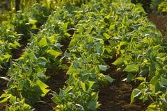 Feld von grünen Bohnen Stockfotografie