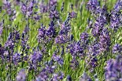 Feld von großen Camas-Blumen Stockbild