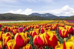 Feld von hellen bunten Tulpen mit Bergen im Hintergrund Stockfotos