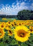 Feld von hellen gelben Sonnenblumen am sonnigen Tag Stockbild
