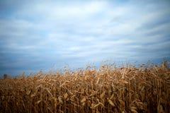 Feld von Herbstmais bereit zum Ernten Lizenzfreie Stockfotos