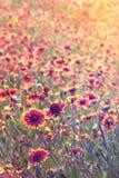 Feld von indischen umfassenden Blumen Stockbilder