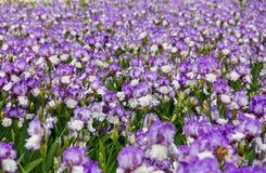 Feld von Iris stockfoto