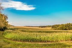 Feld von jungen Grünkernen unter blauem Himmel Stockbilder