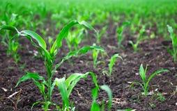 Feld von jungen Maispflanzen Stockbild