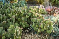 Feld von Kaktusfeige-Kakteen Lizenzfreie Stockbilder