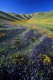 Feld von Kalifornien-Mohnblumen in der Blüte mit Wildflowers, Lancaster, Antilopen-Tal, CA Stockfotos