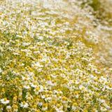 Feld von Kamillenblumen Stockbild