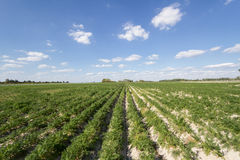 Feld von Kartoffeln Lizenzfreie Stockfotos