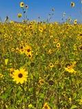 Feld von kleinen Sonnenblumen im Frühsommer Stockfotografie