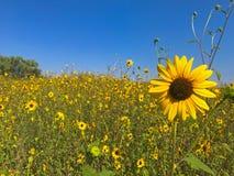 Feld von kleinen Sonnenblumen im Frühsommer Lizenzfreies Stockfoto