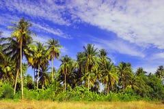 Feld von Kokosnussbäumen Lizenzfreie Stockfotos
