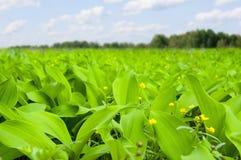 Feld von Kräutern mit großen Blättern und kleinen gelben Blumen Stockfotografie