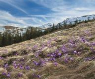 Feld von Krokussen mit Bergen am Hintergrund Lizenzfreie Stockbilder
