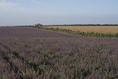Feld von lila Blumen nahe dem Haussommer-Landschaftsabschluß oben lizenzfreie stockfotos