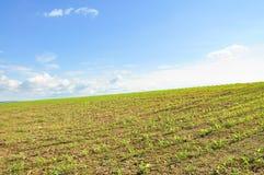 Feld von Mais Stockfoto