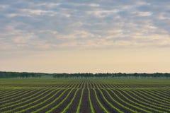 Feld von Mais Stockbilder