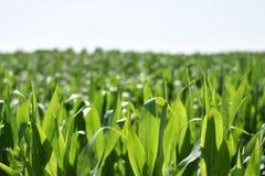 Feld von Mais in der italienischen Landschaft stockfotos