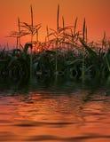 Feld von Mais in der Reflexion auf Sonnenuntergang. Stockfotografie