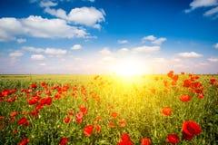 Feld von Mais Poppy Flowers lizenzfreie stockbilder