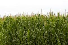 Feld von Mais - Quastenstadium Stockfotos