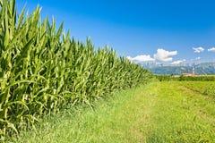 Feld von Mais, von Bergen und von blauem Himmel mit Wolken Stockfotos