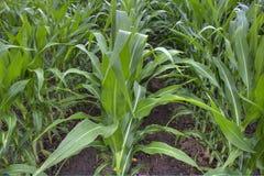Feld von Mais wachsend am Sommer stockfotos