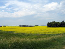 Feld von Manitoba-Canola stockbilder