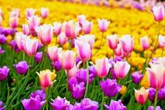 Feld von mehrfarbigen vibrierenden Tulpenblumen im Campus von Moskau-Universität im Frühjahr lizenzfreie stockfotos