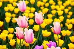 Feld von mehrfarbigen vibrierenden Tulpenblumen im Campus von Moskau-Universit?t im Fr?hjahr stockfotografie