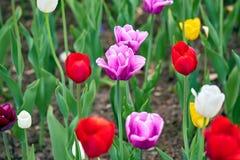 Feld von mehrfarbigen vibrierenden Tulpenblumen im Campus von Moskau-Universit?t im Fr?hjahr stockfotos