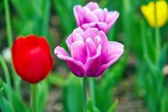 Feld von mehrfarbigen vibrierenden Tulpenblumen im Campus von Moskau-Universit?t im Fr?hjahr stockfoto