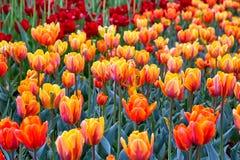 Feld von mehrfarbigen vibrierenden Tulpenblumen im Campus von Moskau-Universit?t im Fr?hjahr lizenzfreies stockfoto