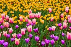 Feld von mehrfarbigen vibrierenden Tulpenblumen im Campus von Moskau-Universit?t im Fr?hjahr lizenzfreies stockbild