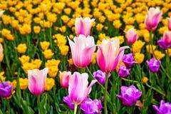 Feld von mehrfarbigen vibrierenden Tulpenblumen im Campus von Moskau-Universit?t im Fr?hjahr stockbild