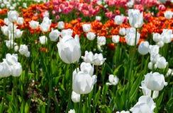 Feld von mehrfarbigen vibrierenden Tulpenblumen im Campus von Moskau-Universit?t lizenzfreies stockbild