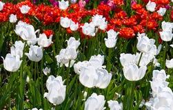 Feld von mehrfarbigen vibrierenden Tulpenblumen im Campus von Moskau-Universit?t stockfotos