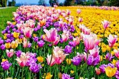 Feld von mehrfarbigen vibrierenden Tulpenblumen im Campus von Moskau-Universit?t lizenzfreie stockbilder