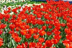 Feld von mehrfarbigen vibrierenden Tulpenblumen im Campus von Moskau-Universit?t lizenzfreie stockfotos