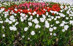 Feld von mehrfarbigen vibrierenden Tulpenblumen im Campus von Moskau-Universit?t lizenzfreies stockfoto