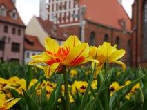 Feld von Narzissenblumen und von alter Stadt hinten lizenzfreie stockbilder