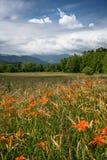 Feld von orange Daylilies Lizenzfreie Stockfotos