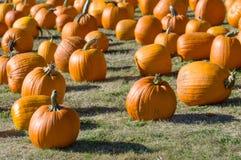 Feld von orange Kürbisen auf Gras Lizenzfreies Stockfoto