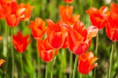 Feld von orange Tulpen in Holland Stockfoto