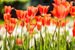 Feld von orange Tulpen in Holland Lizenzfreie Stockfotografie